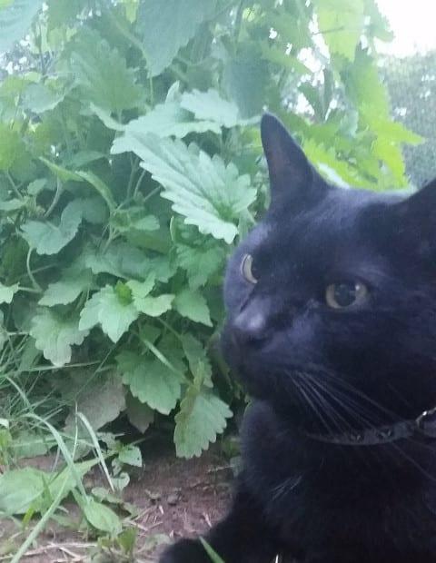 Homegrown Catnip